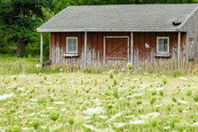 A Small, Old Barn Looks Abandoned With A Field Of White Wildflowers In Front. Concepts Of Farming, Family Farms, Rural Life