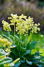 Primula Veris , Cowslip Flower - Flowers Useful As Background - Springtime Detail