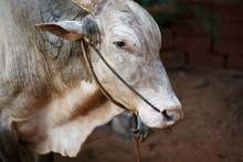Gray Beautiful Sacred Bull Zebu In India