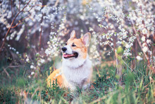 Portrait Of Cute Puppy Red Dog Corgi  On Background Of Cherry Blossoms In Spring Sunny May Garden