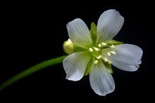 Venus Flytrap Flower, Flowering Dionaea Muscipula