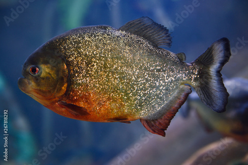 Valokuva  Single adult Red Bellied Piranha scavenger freshwater fish with blue background