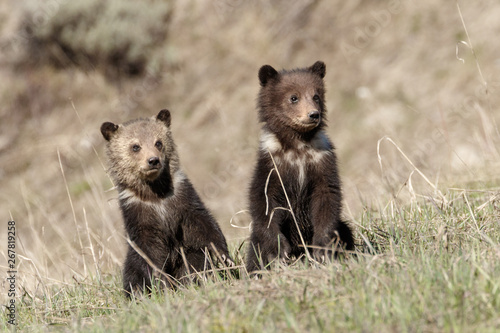 Grizzly Bear Cubs Canvas-taulu