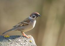 Eurasian Tree Sparrow (Passer ...