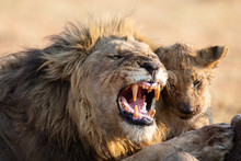 Angry And Hungry Lion Feed On ...