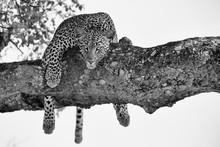 Leopard Female Resting In A Th...
