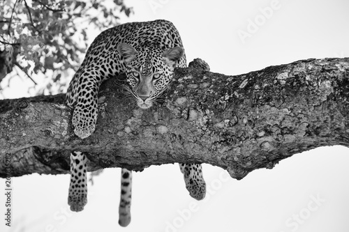 Leopard Leopard female resting in a thick branch a tree in artistic conversion