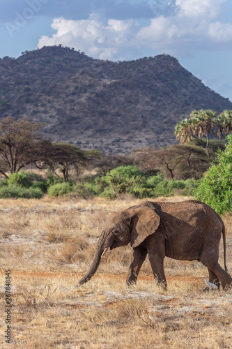 Young elephant walking in front of mountains