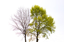A Green Tree And A Tree Without Leaves Stand Side By Side Against The Sky