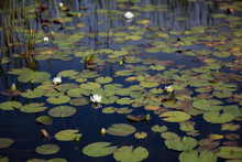 Several White Waterlilies, Lily Pads And Reeds Growing Naturally In Dark Black Reflective Water