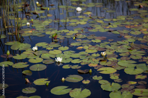 Valokuva Several white waterlilies, lily pads and reeds growing naturally in dark black r