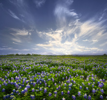 Texas Bluebonnet Field Of Wild...