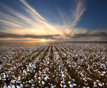 Cotton Field Landscape In West...
