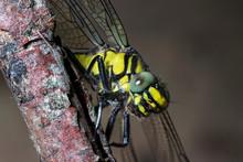 River Clubtail Dragonfly On A Twig