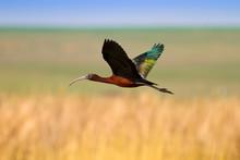 Flying Glossy Ibis. Plegadis F...