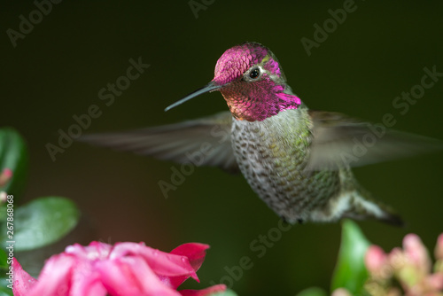 Fototapeta Male hummingbird hovering near pink flowers