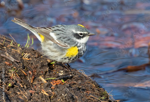 Yellow-rumped warbler (Setophaga coronata) male hunting at the edge of a lake during migration, Iowa, USA Canvas-taulu