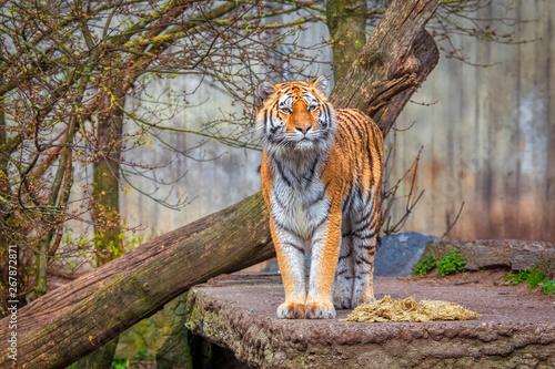 Spoed Foto op Canvas Tijger Siberian Tiger standing on natural area