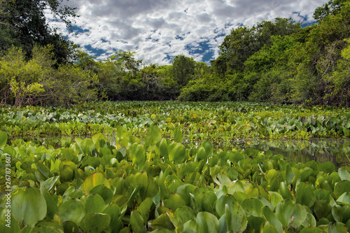 Fotografija  Green Vegetation on the River with Trees and Blue Sky in Pantanal, Brazil