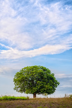 Landscape Scenery Of Stand Alone Tree On Grass Field With Background Of Blue Cloudy Sky