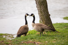 Canadian Geese Couple With Chi...