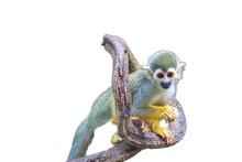 Squirrel Monkey Isolated