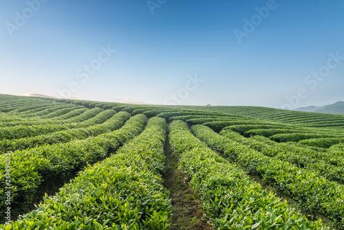 Fotografiet beautiful tea plantation in morning