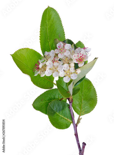 Spring May Branch Of Blossoming Wild Bird Cherry Tree With