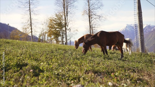 Horses are walking on the mountain.Horses on green pasture. Farming photo.