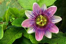 Passion Flower (passiflora)