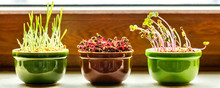 Sill In The Sunlight With Three Pots And Growing Microgreens
