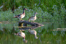 Male Female Wood Duck Pair Per...