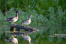 Male Female Wood Duck Pair Per...