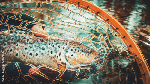 Beautiful brown trout in fishing landing net Wallpaper Mural