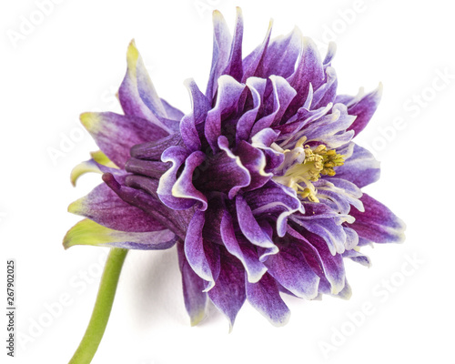 Canvas Print Violet flower of aquilegia, blossom of catchment closeup, isolated on white back