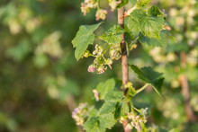 Flowering Currant Bush With Small Flowers And Green Leaves In The Garden In Spring