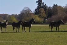 Beautiful Zebra In A Green Field.
