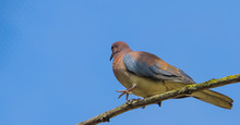 Portrait Of A Laughing Dove Sitting On A Branch, Small Tropical Pigeon From Senegal