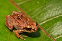 Lesser Antillean Whistling Frog (Eleutherodactylus Johnstonei)