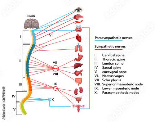 Obraz na plátně Infographics scheme of anatomical structure of human nervous system
