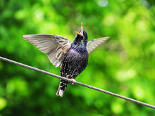 Singing Starling In Early Spring