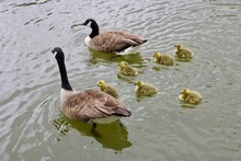 Two Geese And Five Goslings Sw...
