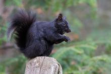 Black Squirrel In Spring