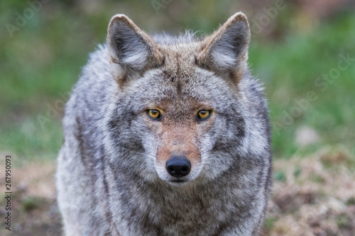 Coyote portrait Canvas Print