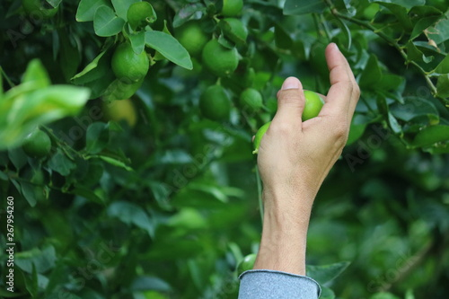 mão colhendo limões Slika na platnu