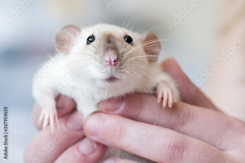 Fotografía  Decorative Siamese rat in the hands of a woman
