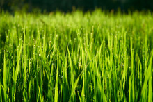 Long Shiny Green Stems Of Rice...