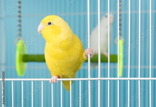 Fototapeta Couple bird parrot parakeet forpus american yellow and white color in cage on bl