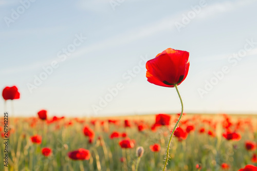 Red poppy flower growing wild in the springtime countryside