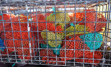 Off Seasoncolorful  Lobster Bait Bags Stored In Metal Lobster Traps